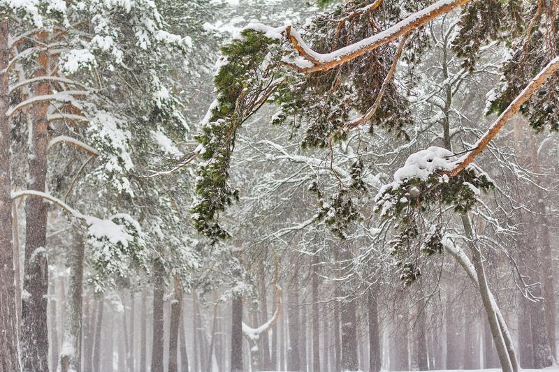 Beautiful Winter Scenery Nude Trees Covered With Snow In