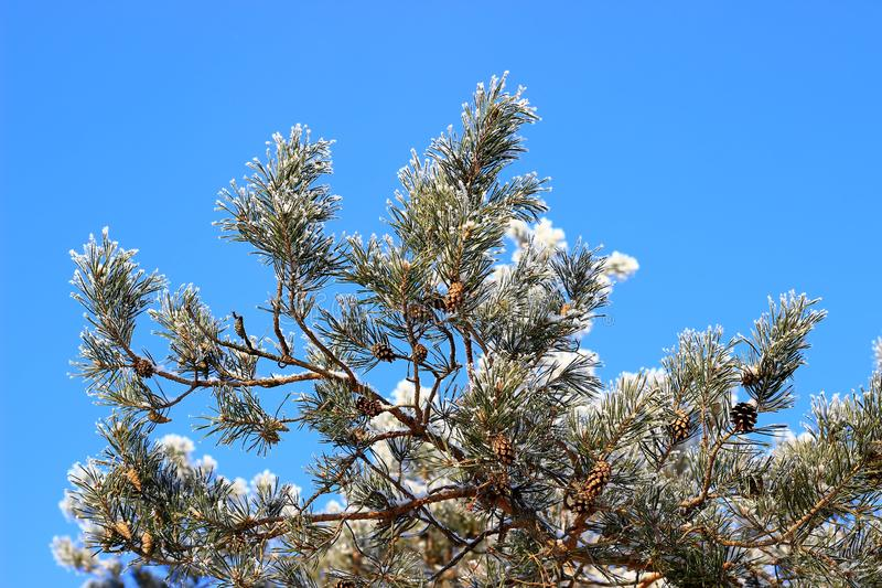 Beautiful pine branches with cones against the blue sky. Winter landscape stock image
