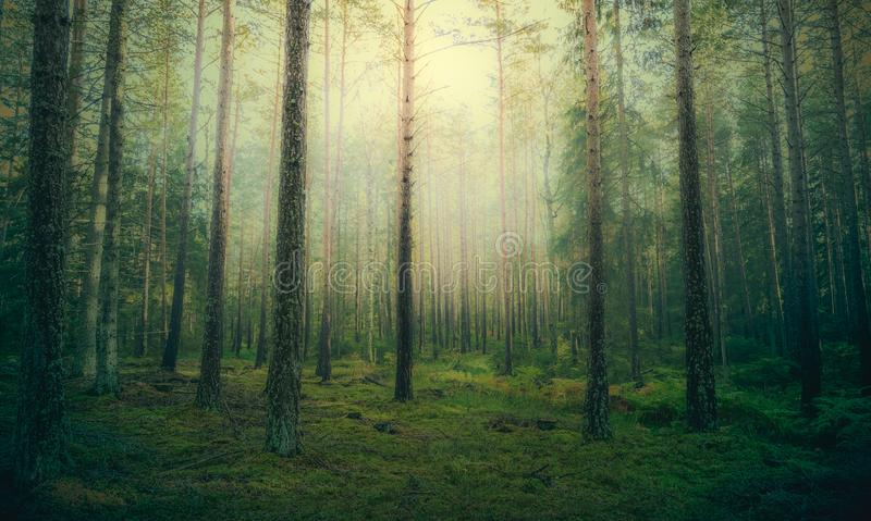 Beautiful pine forest at foggy sunrise. royalty free stock images