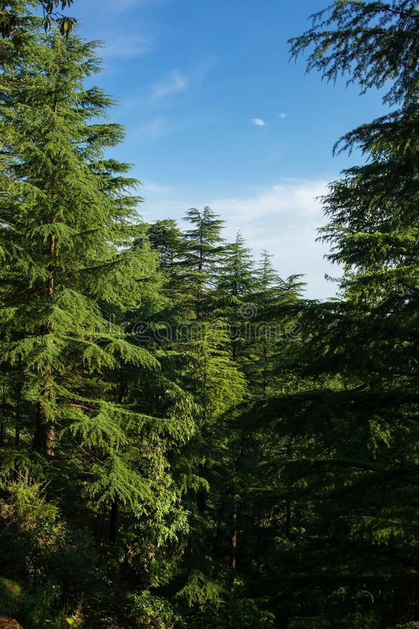 Beautiful pine forest landscape in Himachal Pradesh state. India stock images