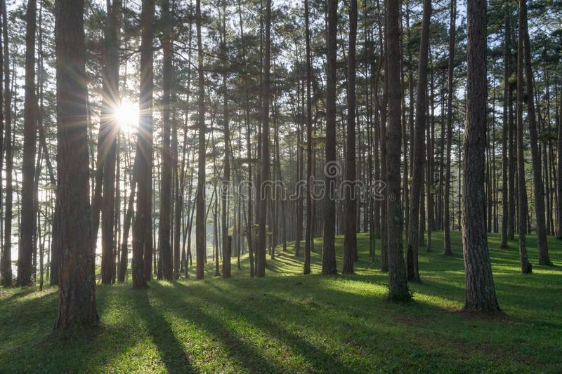 Beautiful pine forest, sunlight, sunshine and green grass meadow background part 4 royalty free stock image