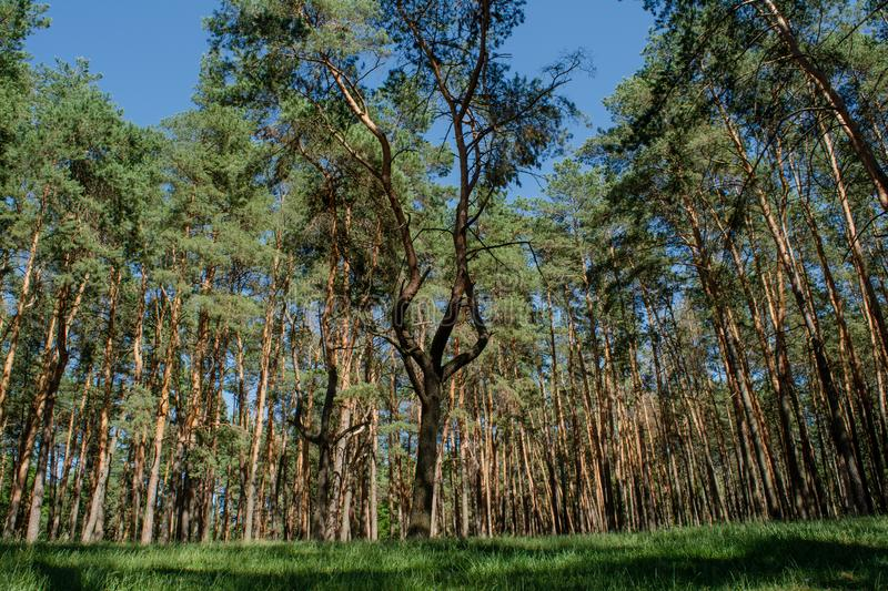Beautiful pine`s forest during sunny summer day stock photography