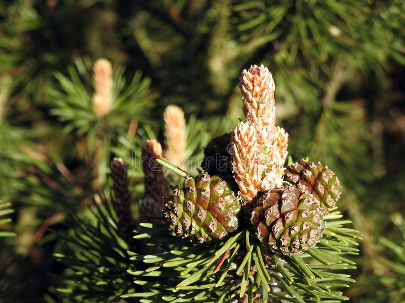 Pine tree cone in spring, Lithuania royalty free stock image