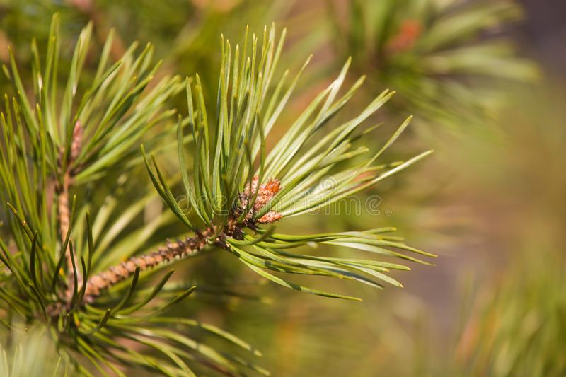 A beautiful pine tree buds in a sunny early spring day. Closeup of a tree branch. royalty free stock photos