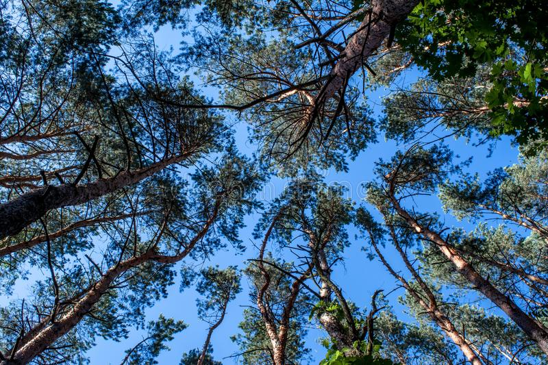 Beautiful pine tree`s tops with blue sky on the background stock image