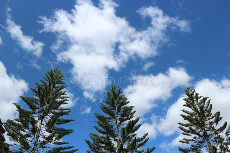 Beautiful pine trees background with the blue sky and Cloud.Thailand. Beautiful pine trees background with the blue sky and Cloud stock photography