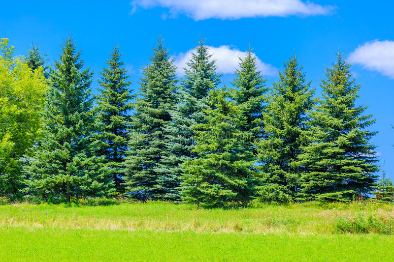 Beautiful pine trees on background high mountains royalty free stock photos
