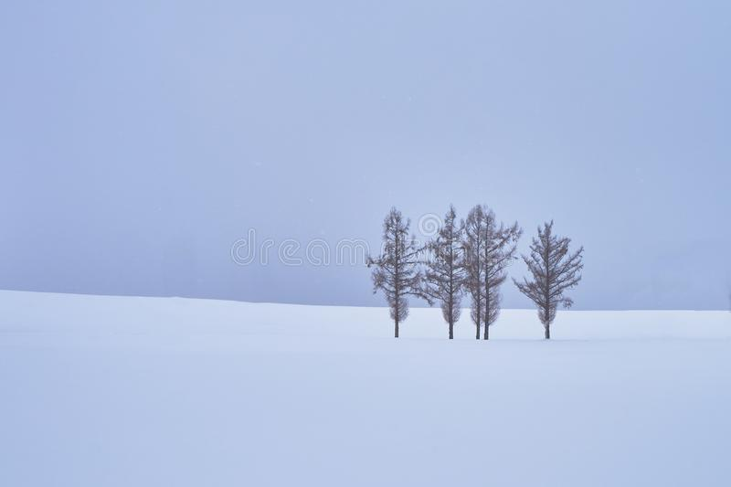 Beautiful Pine trees at `Mild seven hills` along the patchwork road in winter at Biei city stock images