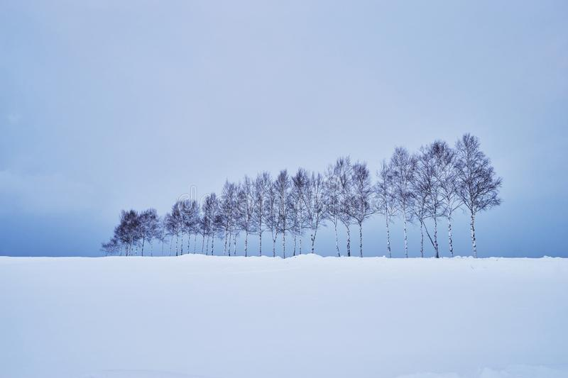 Beautiful Pine trees near `Seven star no ki` along the patchwork road in winter at Biei city stock images