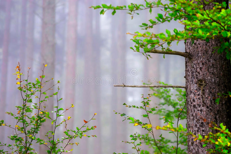 Beautiful pinetrees in the foggy forest, french nature. Autumn stock photo