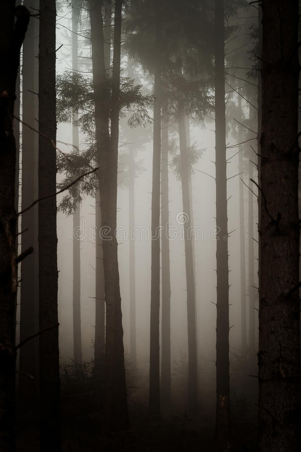 Beautiful pinetrees in the foggy forest, french nature. Autumn stock images