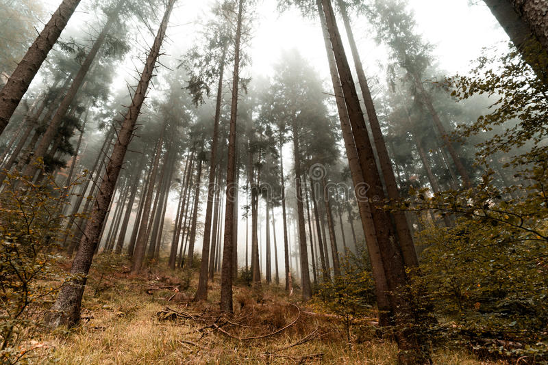 Beautiful pinetrees in the foggy forest, french nature. Autumn stock photography