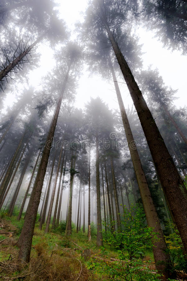 Beautiful pinetrees in the foggy forest, french nature. Autumn royalty free stock photography