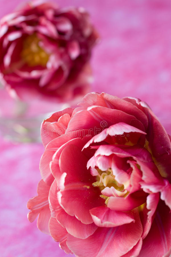 Beautiful pink. Tulip close-up stock photos