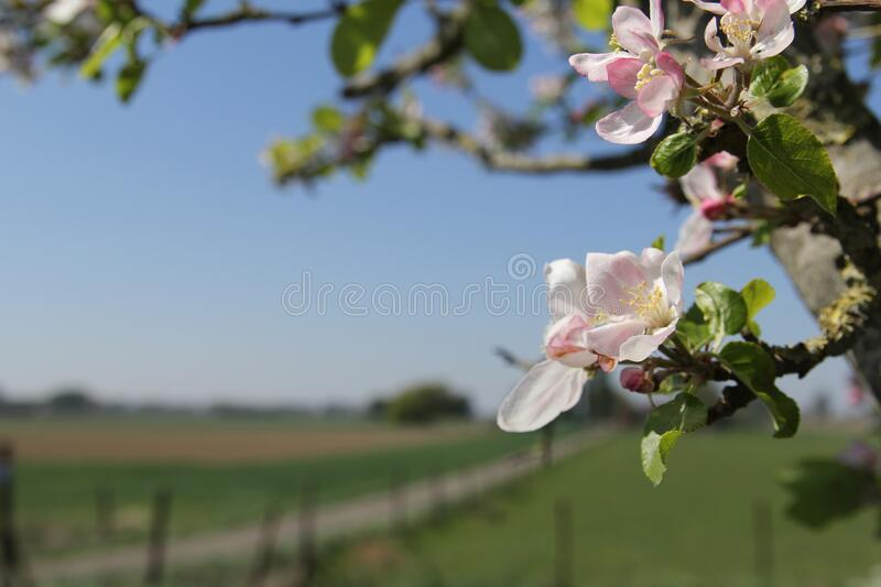 Beautiful pink apple blossom flowers closeup in front of the blue and green dutch countryside in springtime. A branch of a wild apple tree with beautiful pink royalty free stock photos