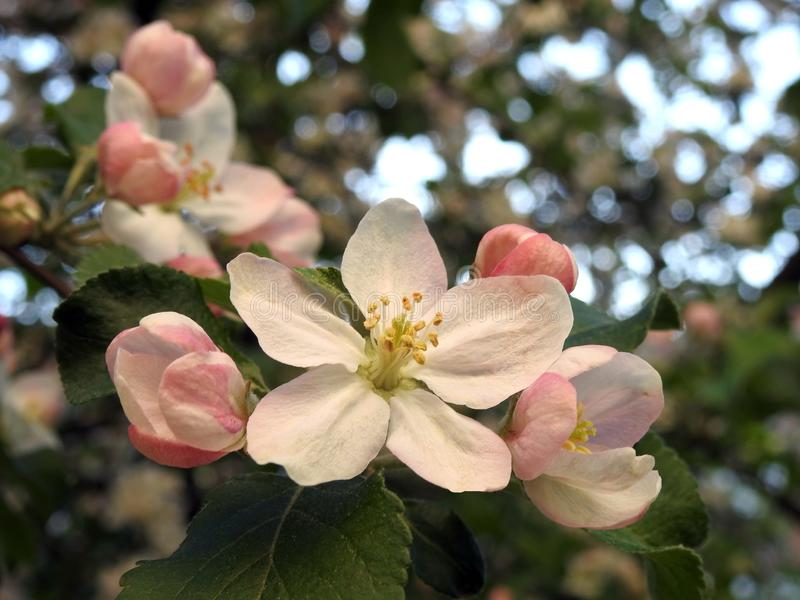 Apple tree blooms, Lithuania royalty free stock photo