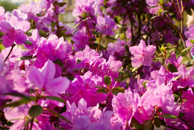 Pink azalea. Blooming spring flowers in sunny weather royalty free stock photography