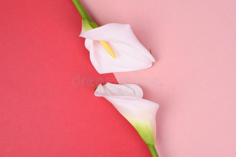 Beautiful pink background with white callas. Delicate flowers. White calla lilies  on pink background. Top view stock photo