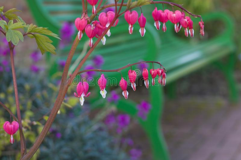 Beautiful pink bleeding heart flowers with green bench in background stock photography