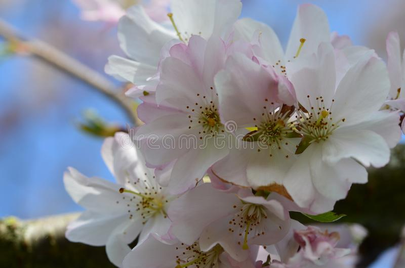 Beautiful pink blossom tree in the park stock photography