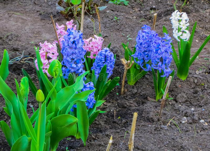 Beautiful pink and blue hyacinths in early spring on a flower bed in the garden.  royalty free stock image