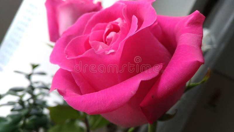 Beautiful pink bud / Macro photography. Of rose bud stock photography