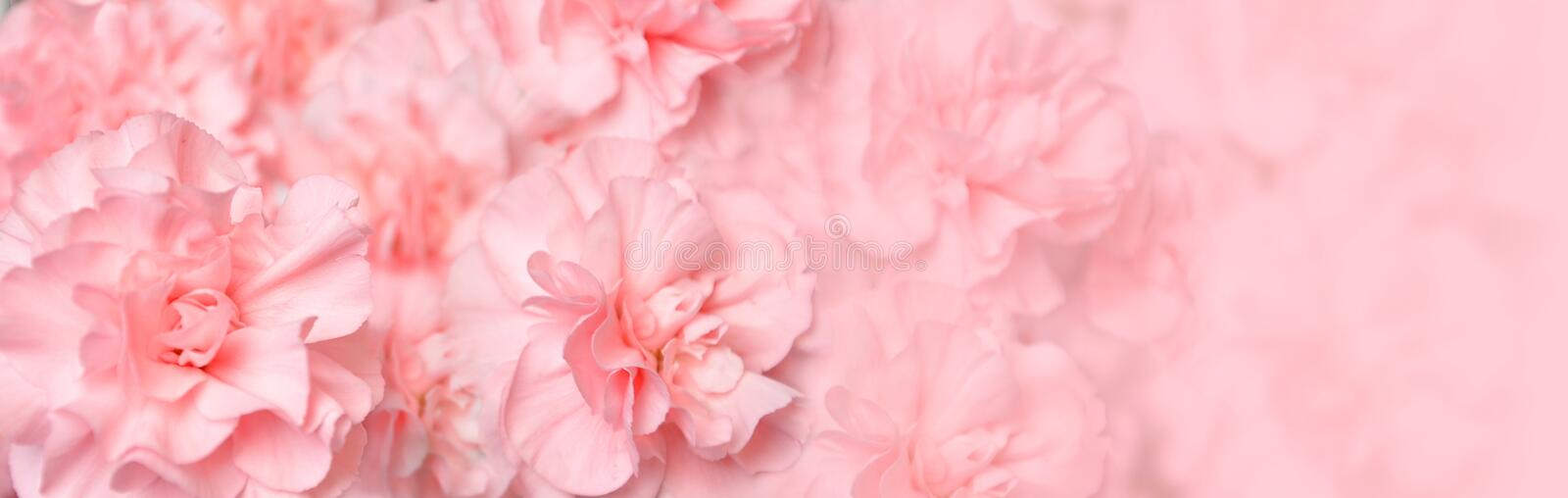 Beautiful Pink Carnation Flower Header royalty free stock images