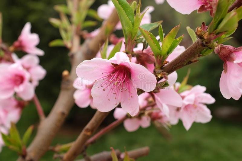 Beautiful Pink Cherry Blossom Flowers in spring stock photo