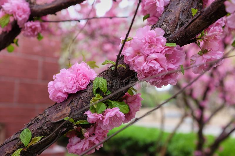 Beautiful Pink Cherry Blossom Flowers in spring. stock images