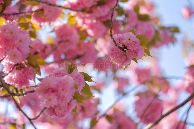 Beautiful pink cherry blossom or sakura blooming in the garden royalty free stock photo