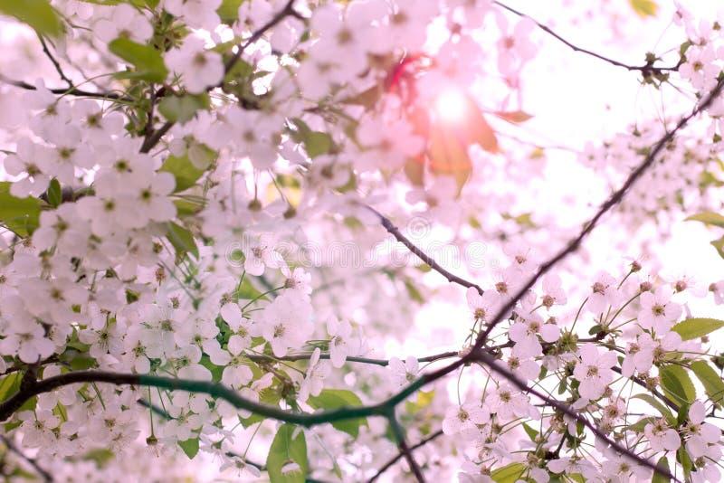 Beautiful pink cherry blossom Sakura flower at full bloom. Background stock image