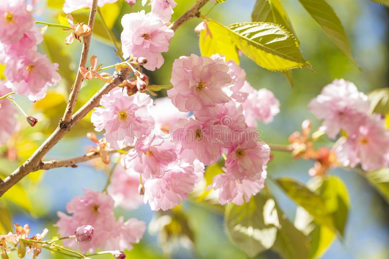 Beautiful pink cherry blossom Sakura flower at full bloom. Beautiful nature scene with blooming tree. Sunny day. Spring flowers. stock photography