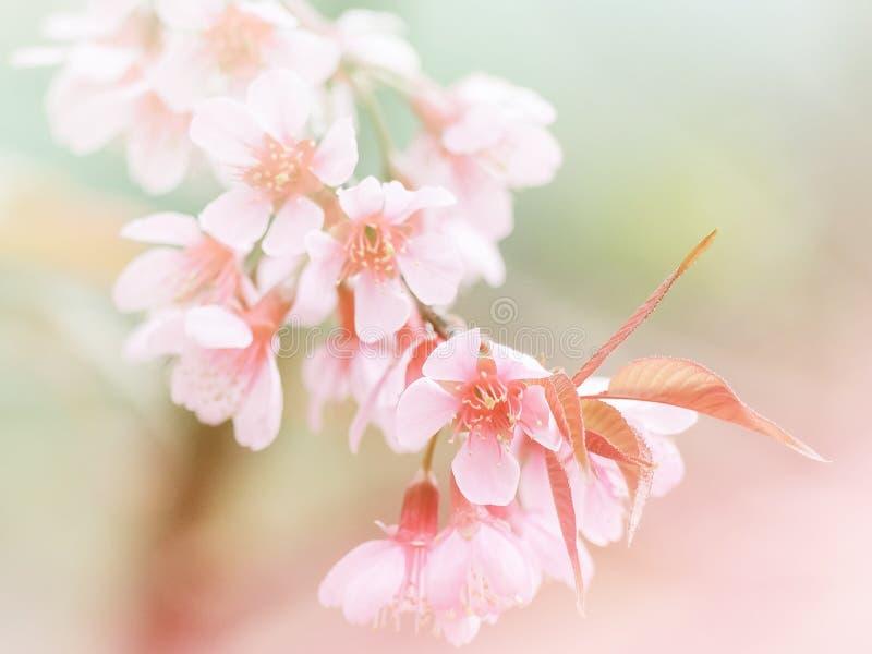 Beautiful pink cherry blossom (Sakura) flower. Soft focus stock photos