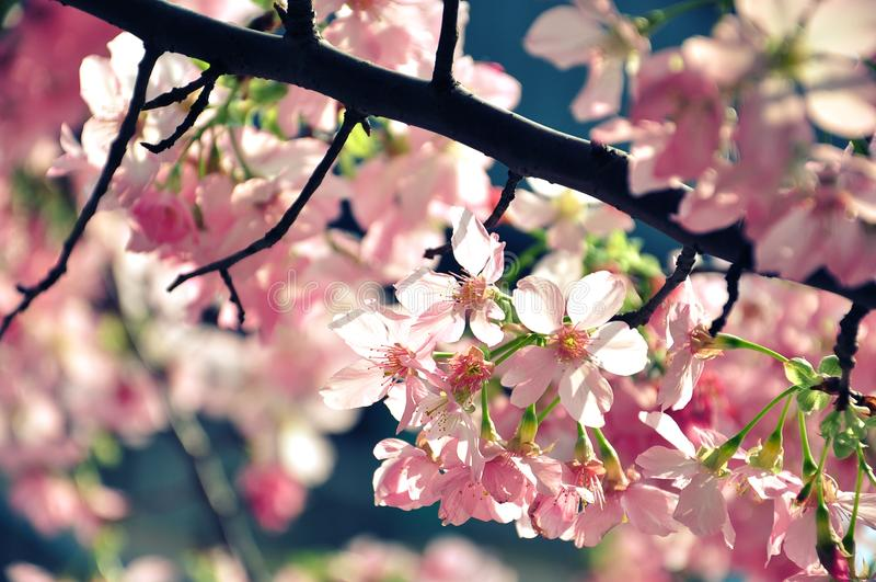 Beautiful pink cherry blossom Sakura which petals are glowing in spring sunshine with Vintage Tone. stock photos