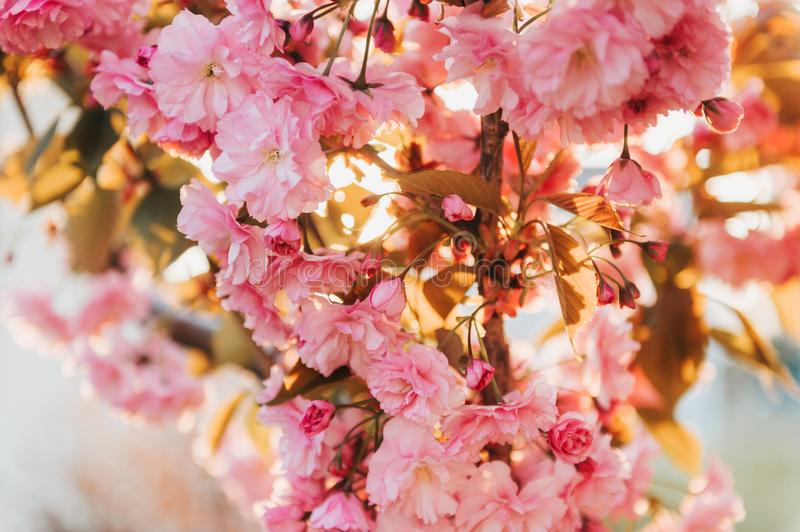 Beautiful pink cherry blossom in spring. In golden light royalty free stock photos