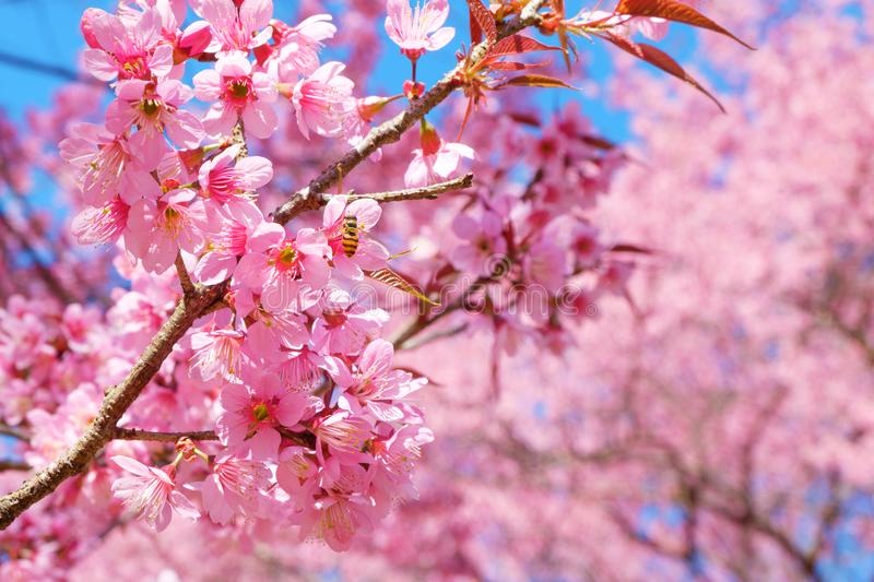 Beautiful pink cherry blossom in spring. Sakura pink flower with nature background royalty free stock photos