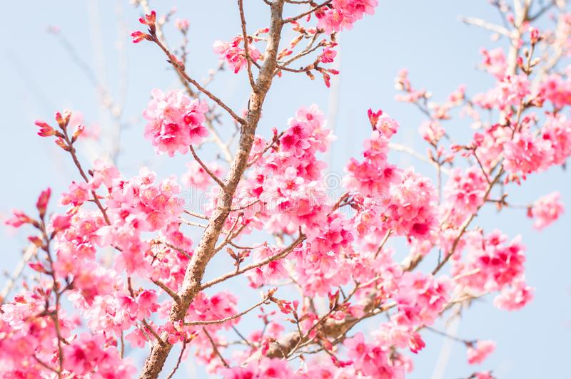 Beautiful pink cherry blossoms in garden stock photos