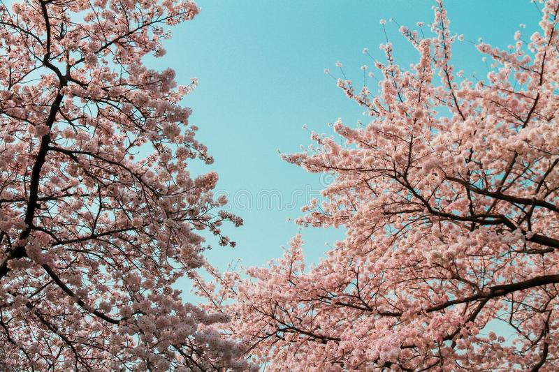 .Beautiful pink cherry blossoms with a blue sky as the background royalty free stock photography