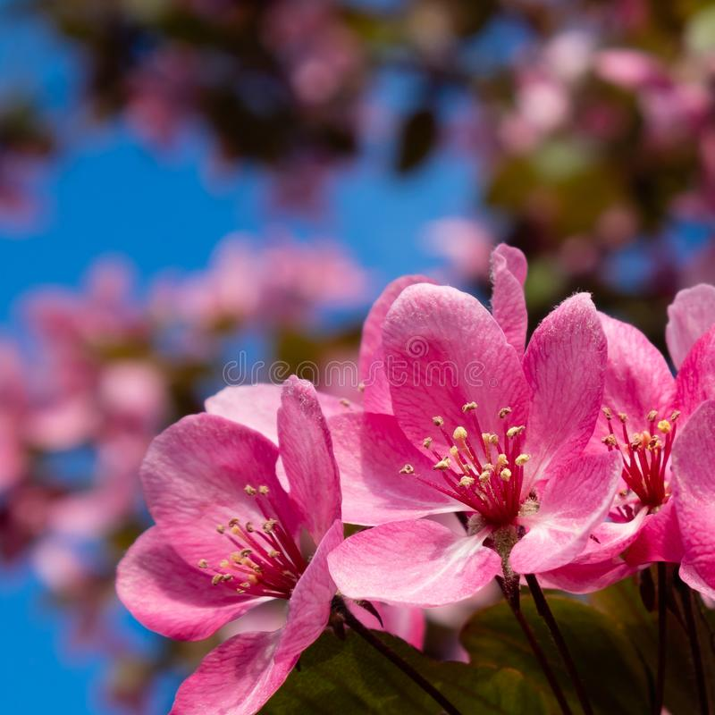 Beautiful pink cherry flowers on sunny day royalty free stock images