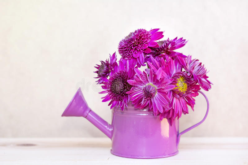 Beautiful pink chrysanthemums flowers in purple water can. Beautiful pink chrysanthemums flowers in small decorative purple water can royalty free stock photos
