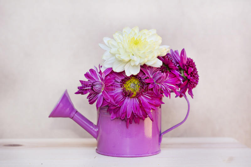 Beautiful pink chrysanthemums flowers in purple water can. Beautiful pink chrysanthemums flowers in small decorative purple water can royalty free stock photography