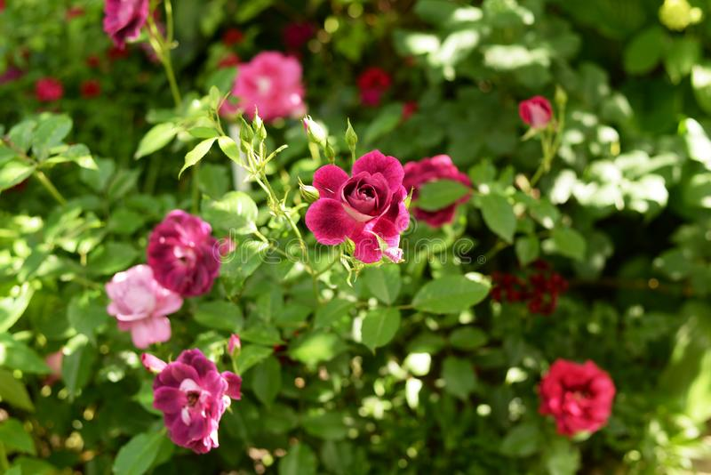 Beautiful pink climbing roses in spring in the garden . green background stock photos