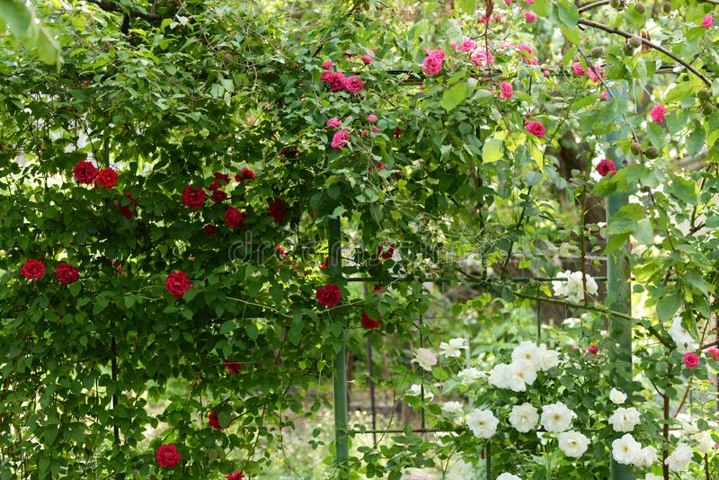 Beautiful climbing roses in spring in the garden . green background stock images