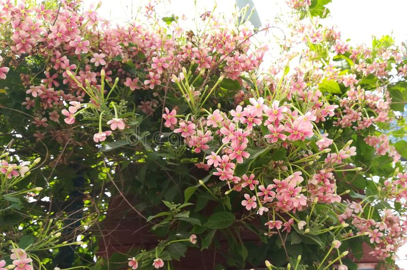 Beautiful Pink colour flowers bail plant. In garden on the wall stock images