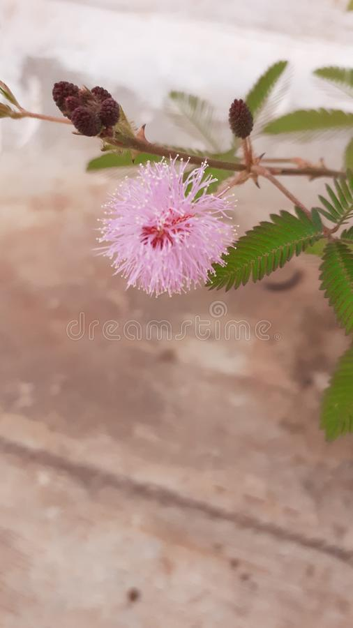 Beautiful pink coloured flower with seeds royalty free stock photography