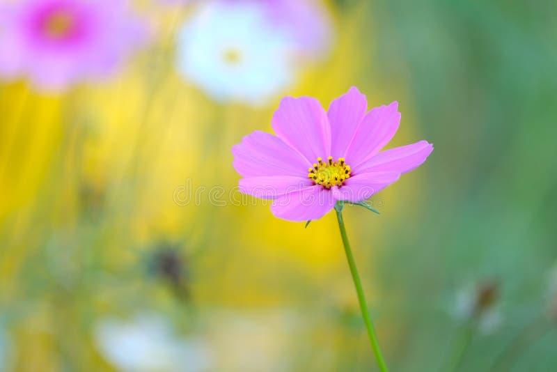 Beautiful pink cosmos flower with blur background stock image download beautiful pink cosmos flower with blur background stock image image of blur bloom mightylinksfo