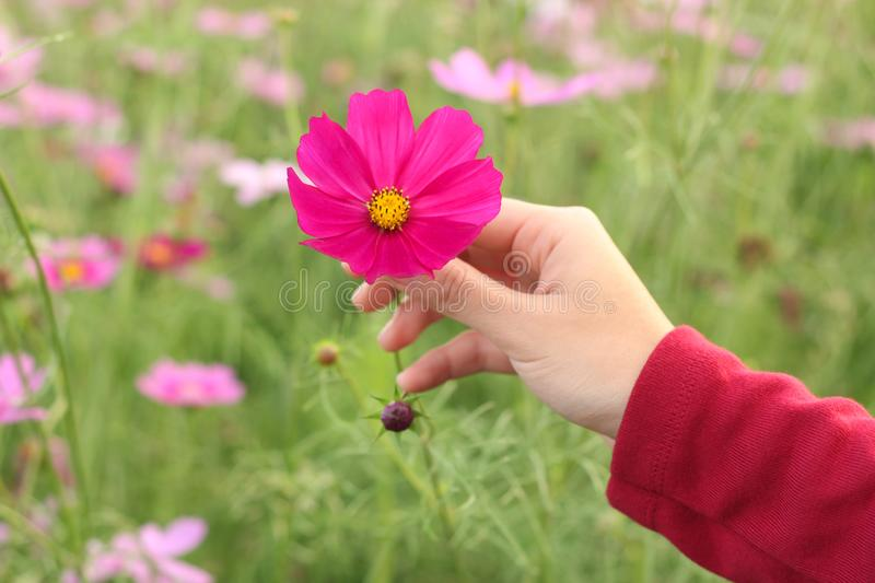 Beautiful pink cosmos flower on hand stock photo image of colorful download beautiful pink cosmos flower on hand stock photo image of colorful shirt mightylinksfo Image collections