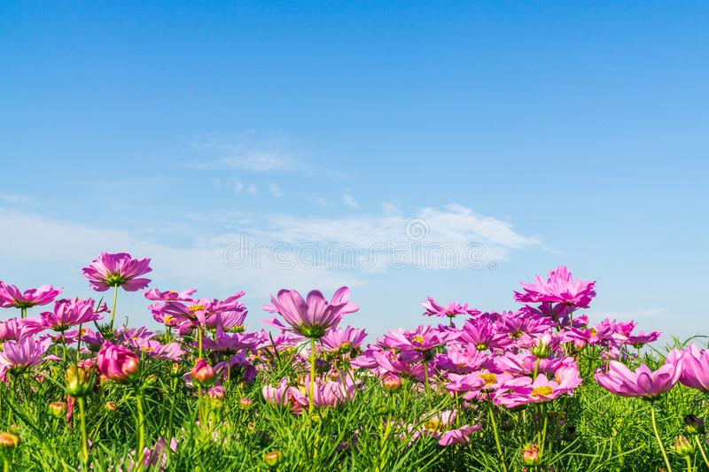 Beautiful pink cosmos flowers in blooming with sky and cloud background with copy space. Abstract summer background stock images