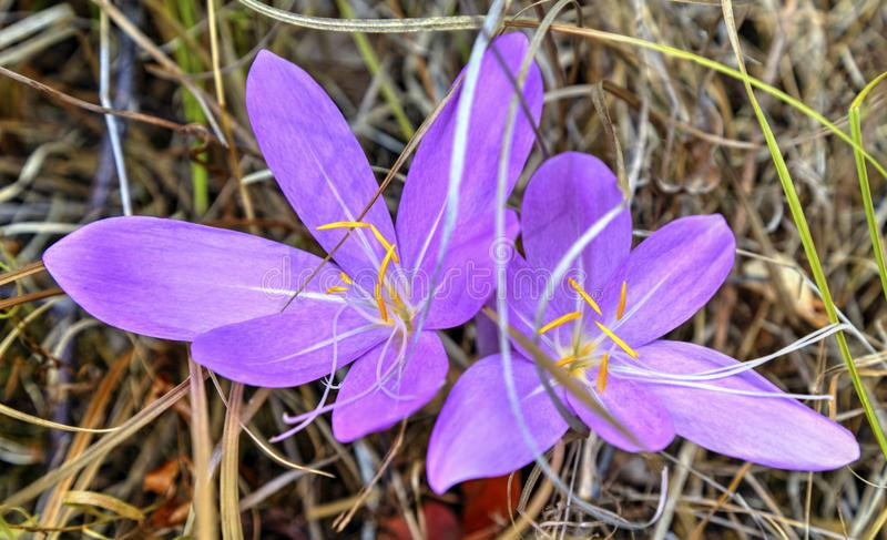 Beautiful pink crocus stock photography