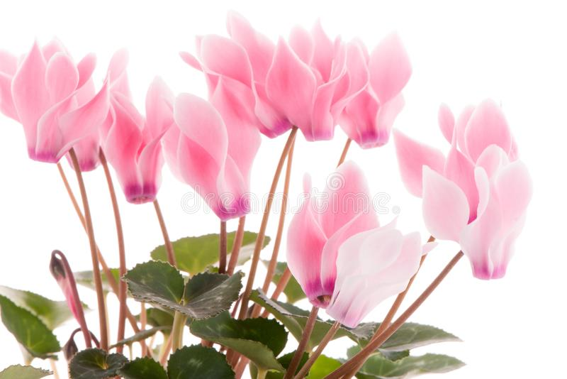 Beautiful pink Cyclamen flower stock photo